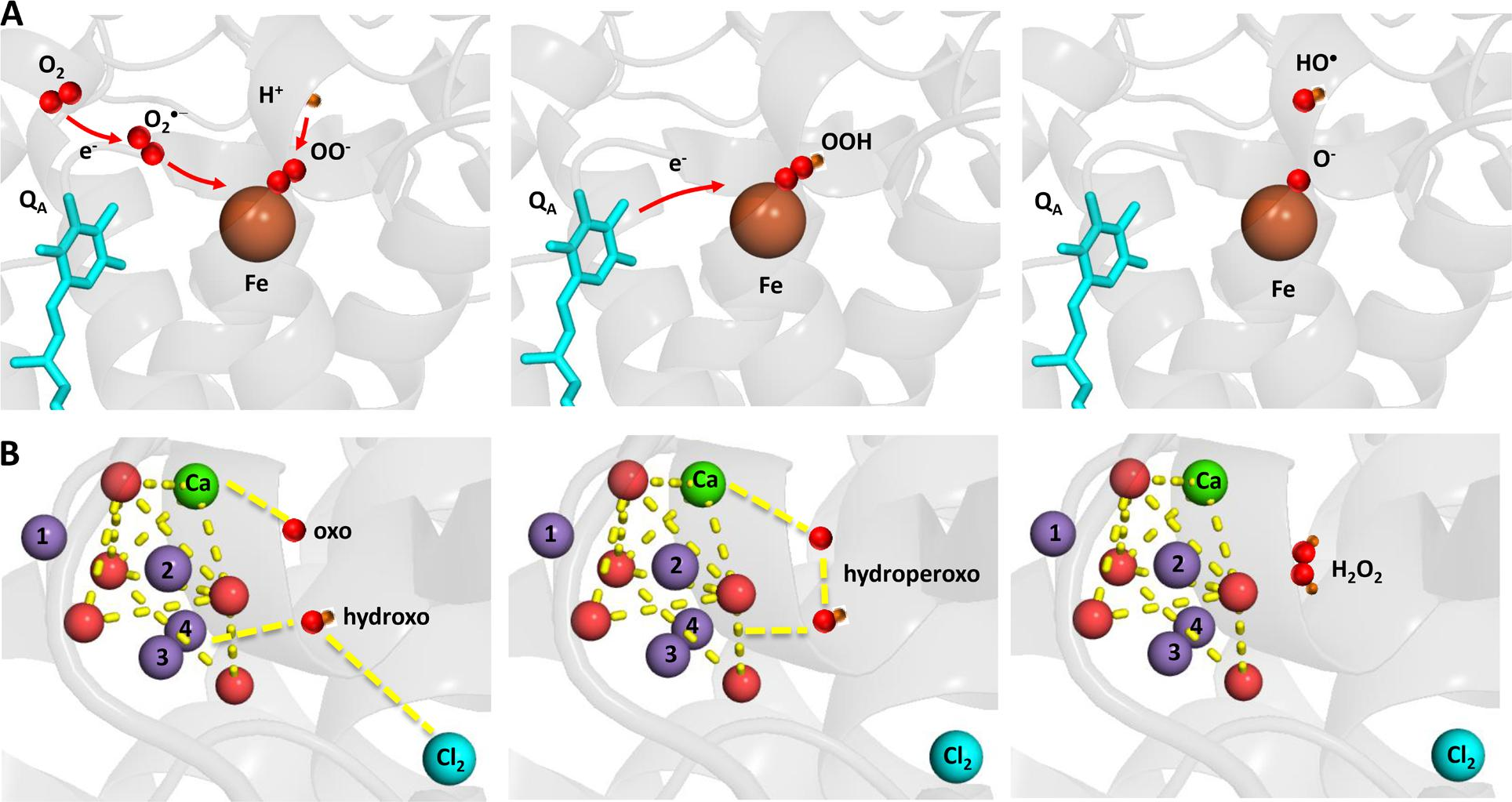 Frontiers | Production of Reactive Oxygen Species by Photosystem II