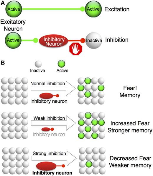 איור 3 - A. תאי עצב מעוררים שולחים אותות הפעלה לתאי עצב מסוימים (קו ירוק).