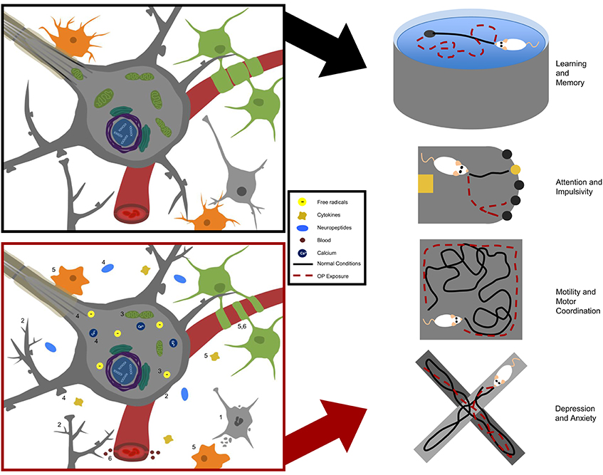 The Role Of Exposure To Neurotoxic >> Frontiers Neurotoxicity In Preclinical Models Of Occupational