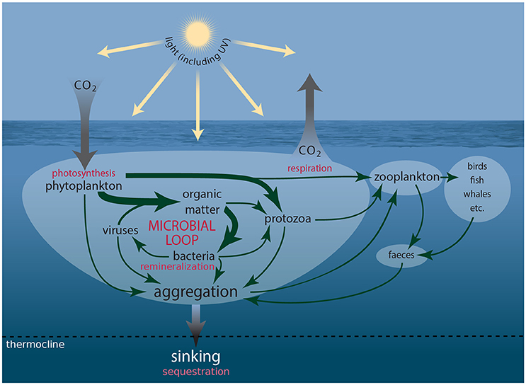 zooplankton and phytoplankton relationship