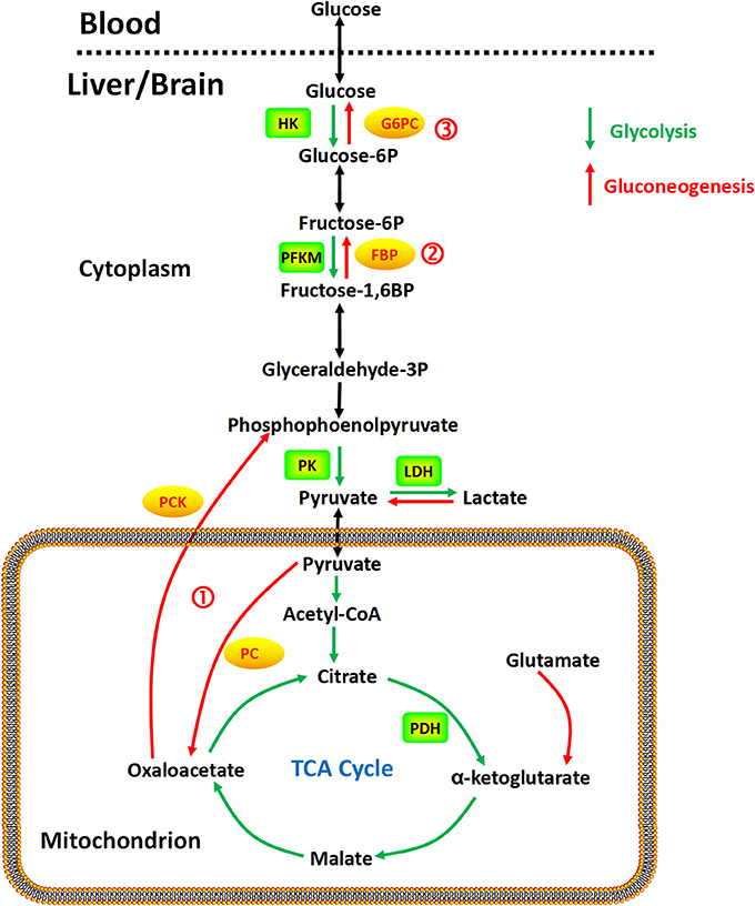 Frontiers Cerebral Gluconeogenesis And Diseases Pharmacology