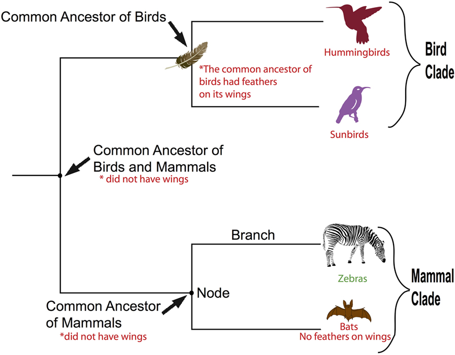 Figure 1 - Understanding a phylogenetic tree.
