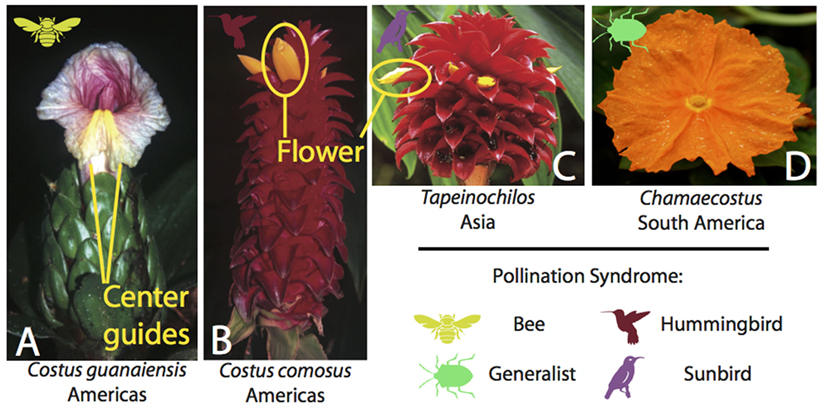 Figure 2 - Some species of Costaceae with symbols to show their pollination syndromes.