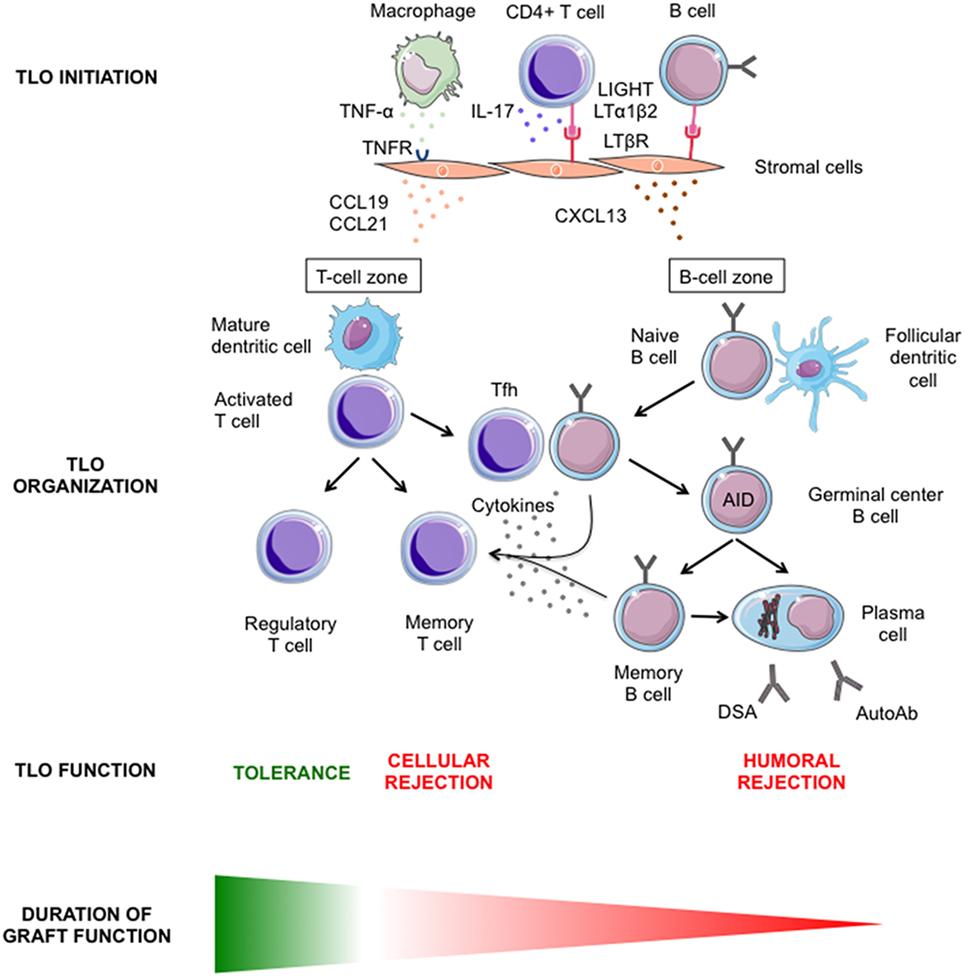 Lymphoid Neogenesis And Tertiary Lymphoid