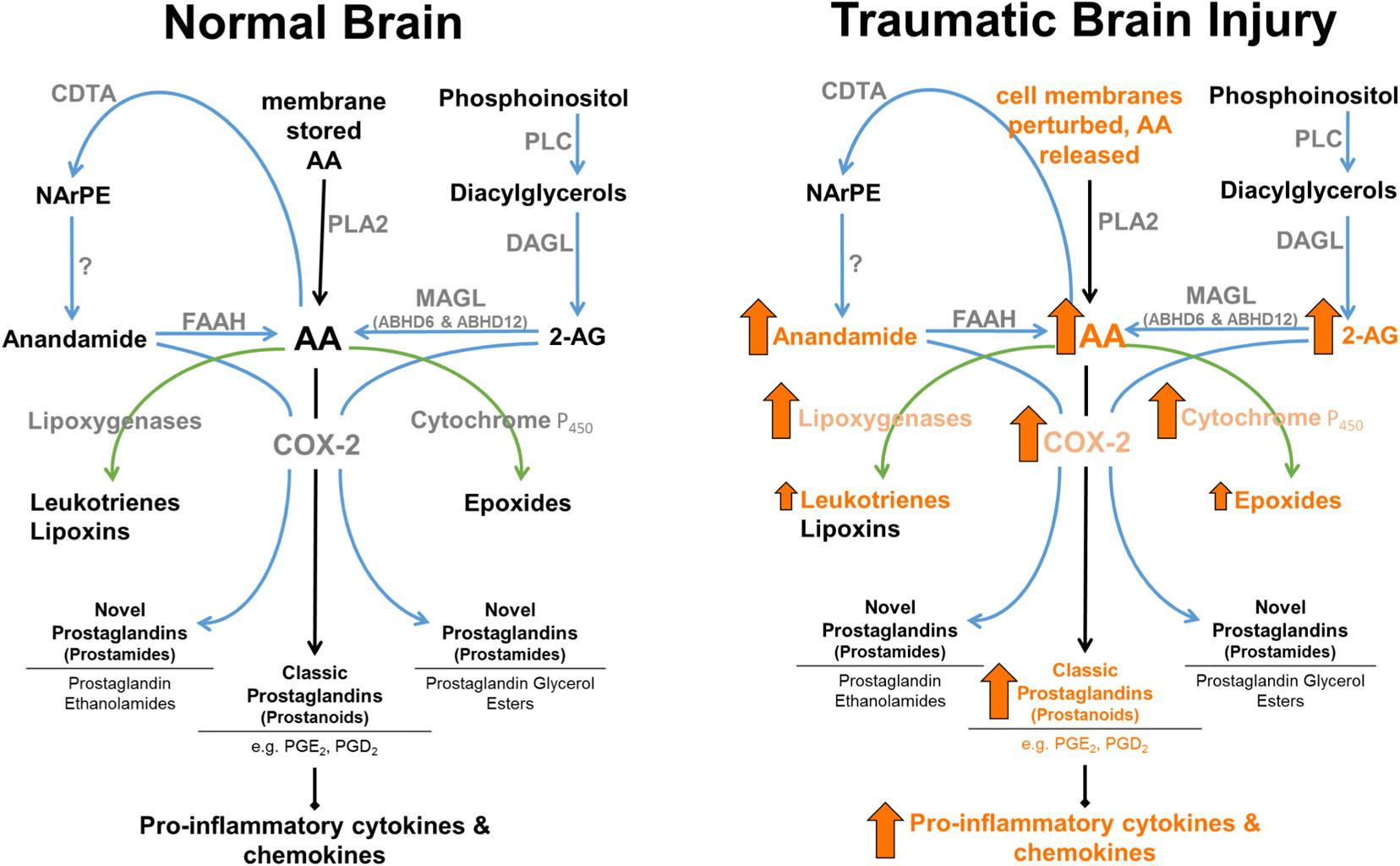 Frontiers | Endocannabinoids: A Promising Impact for Traumatic Brain