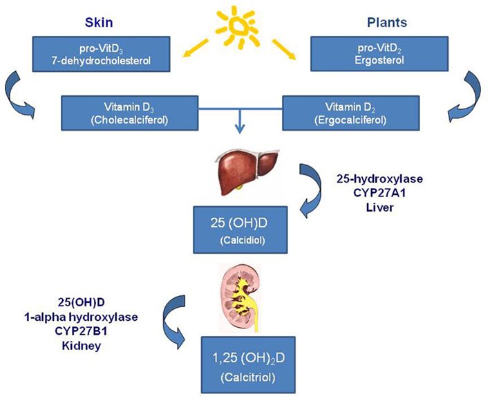 Frontiers | Vitamin D and Cancer | Endocrinology