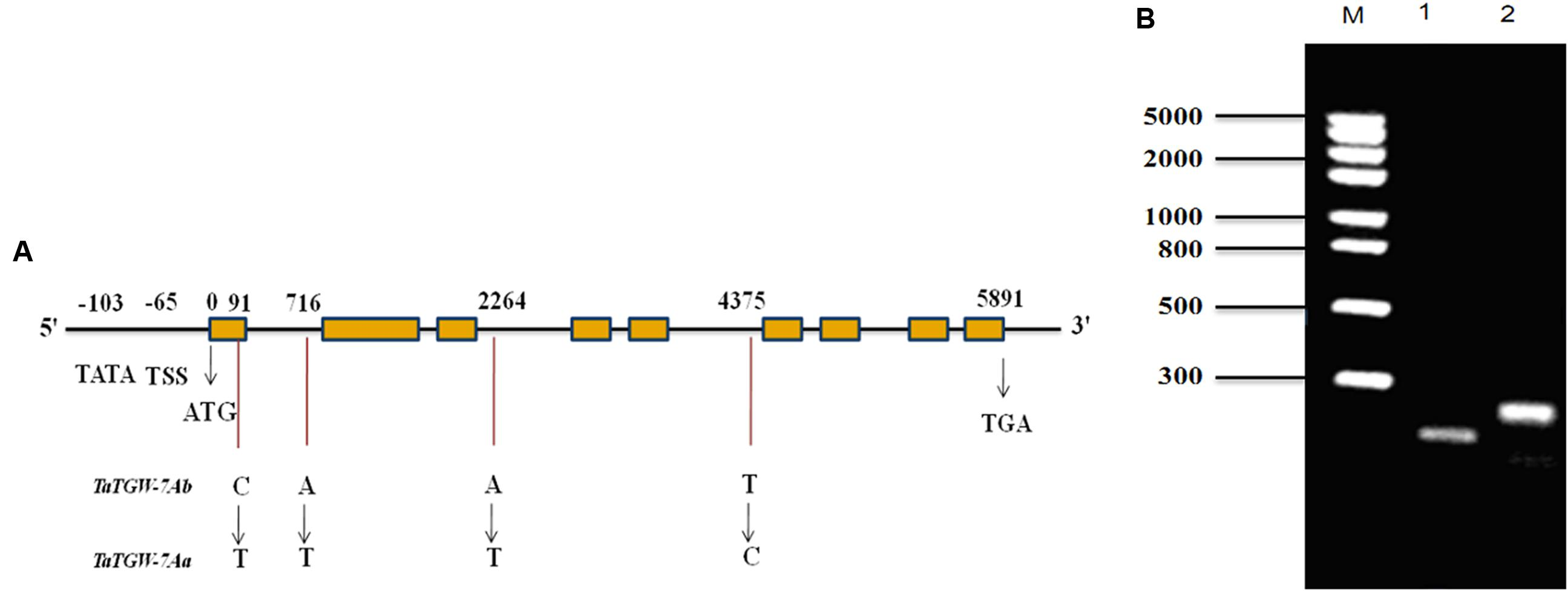 Frontiers Cloning And Characterization Of Tatgw 7a Gene Associated