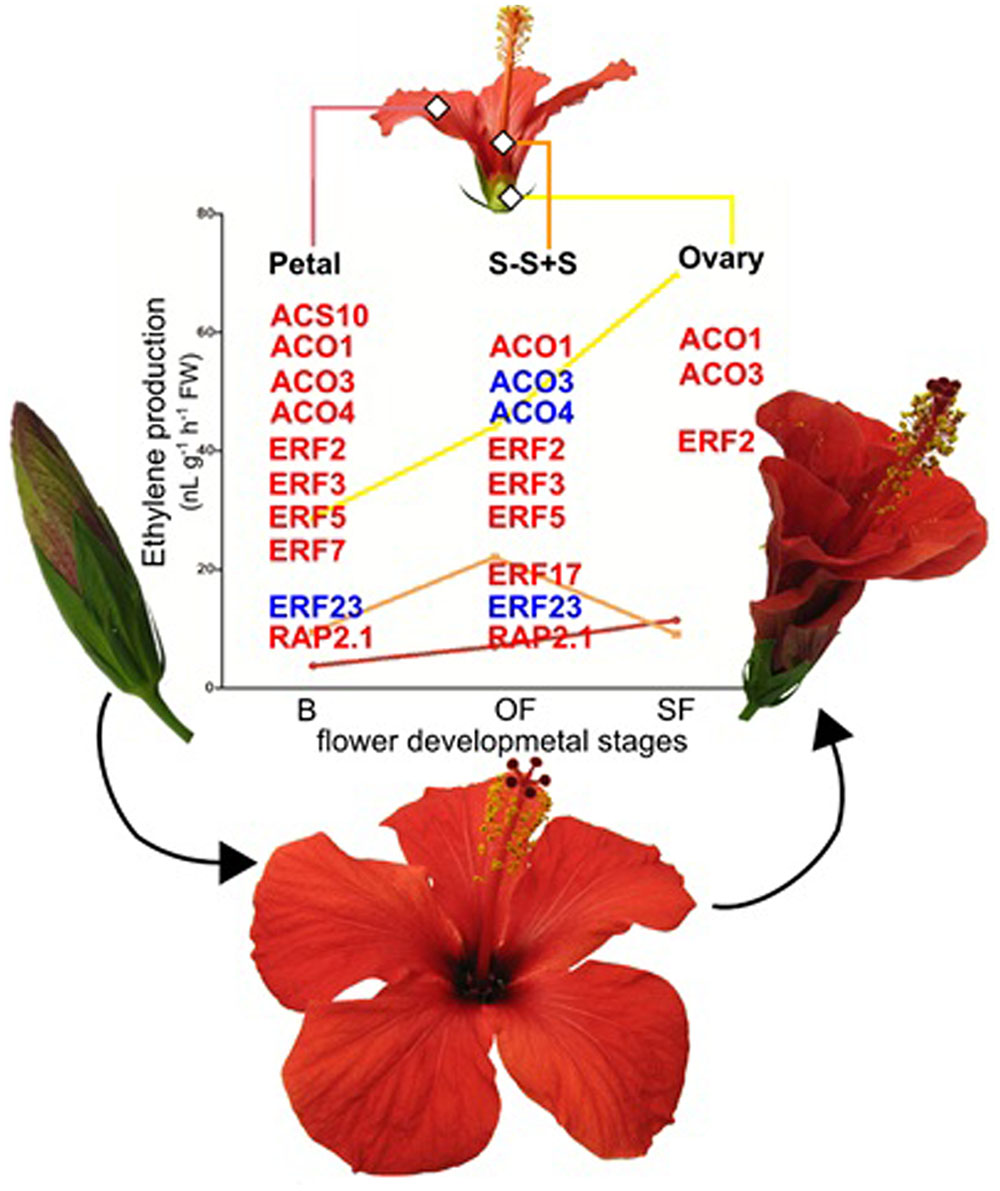 Frontiers Ethylene Role In Plant Growth Development And