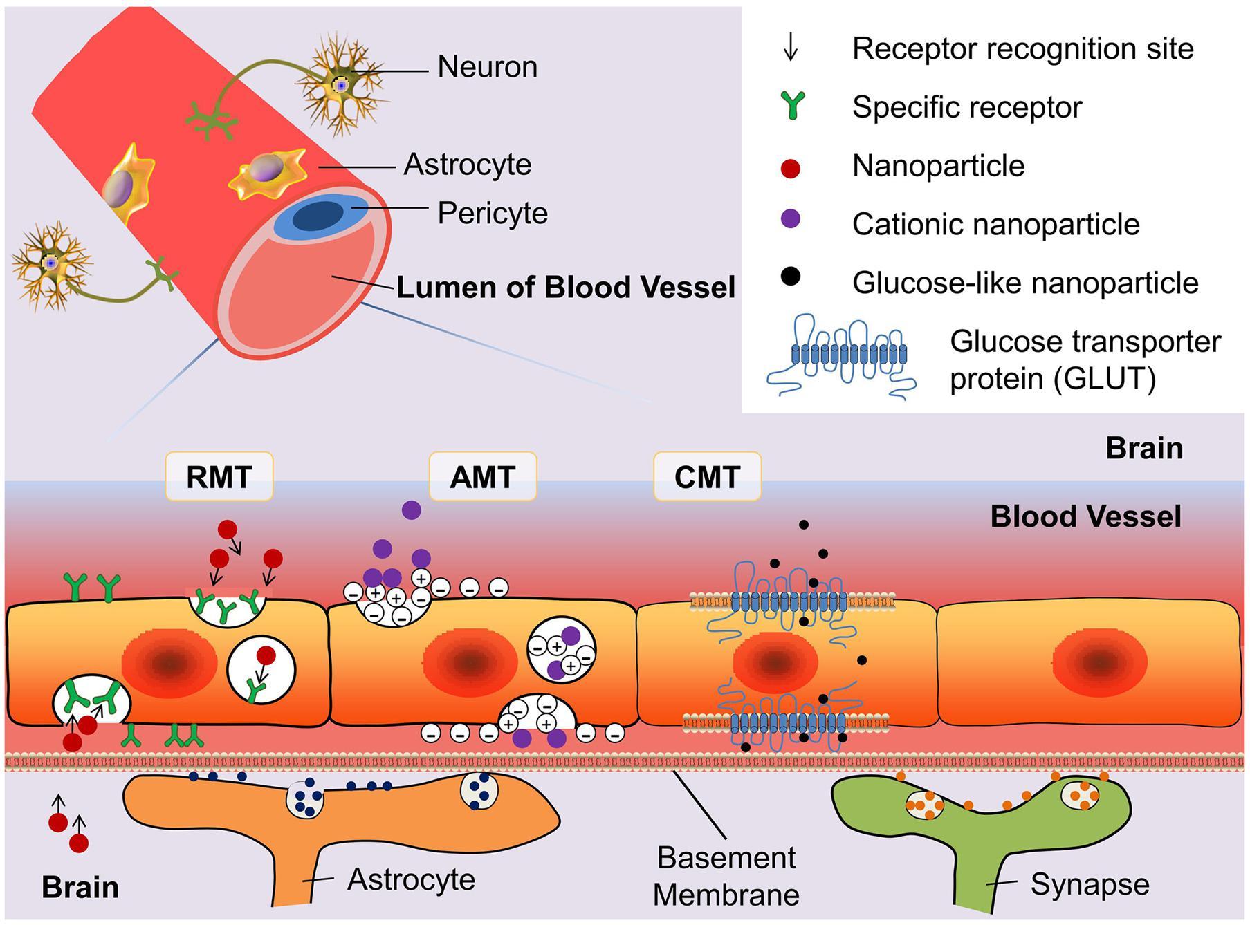 frontiers glioblastoma stem like cells characteristics