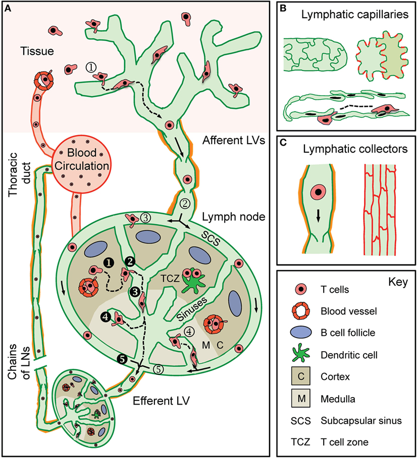Frontiers T Cell Trafficking Through Lymphatic Vessels Immunology