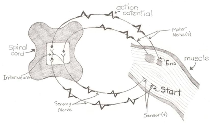 Figure 3 - Reflex path showing the five components of a reflex: sensor, sensory neuron, interneuron, motor neuron, and muscle.