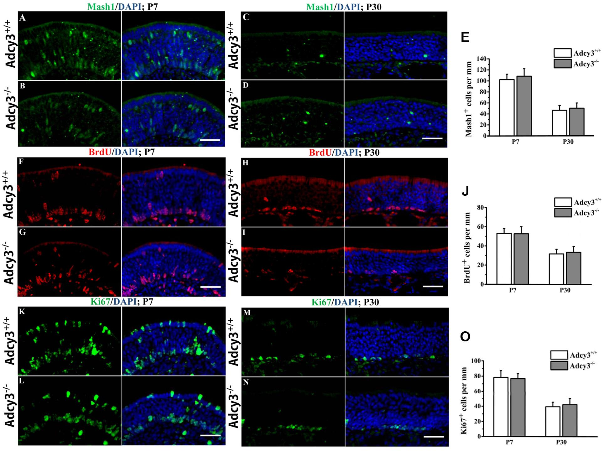 Frontiers   Deletion of Type 3 Adenylyl Cyclase Perturbs the