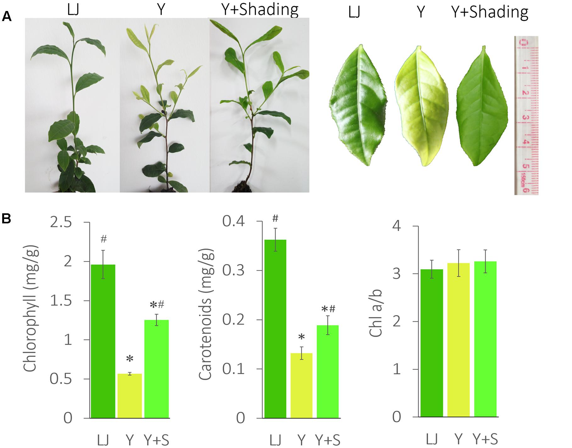 Frontiers | Molecular Link between Leaf Coloration and Gene ...