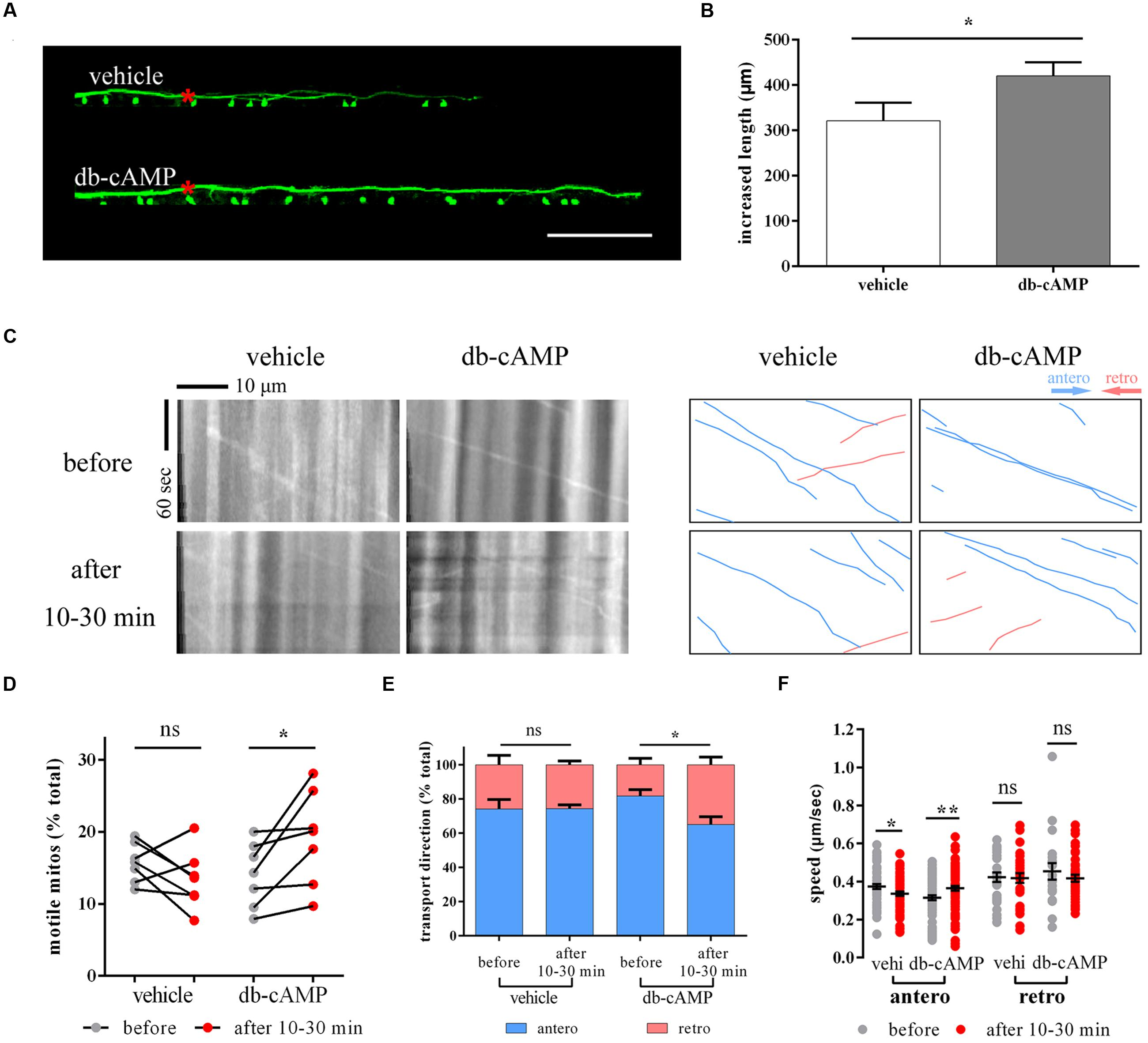 Frontier Speed Test >> Frontiers   In vivo Imaging of Mitochondrial Transport in Single-Axon Regeneration of Zebrafish ...