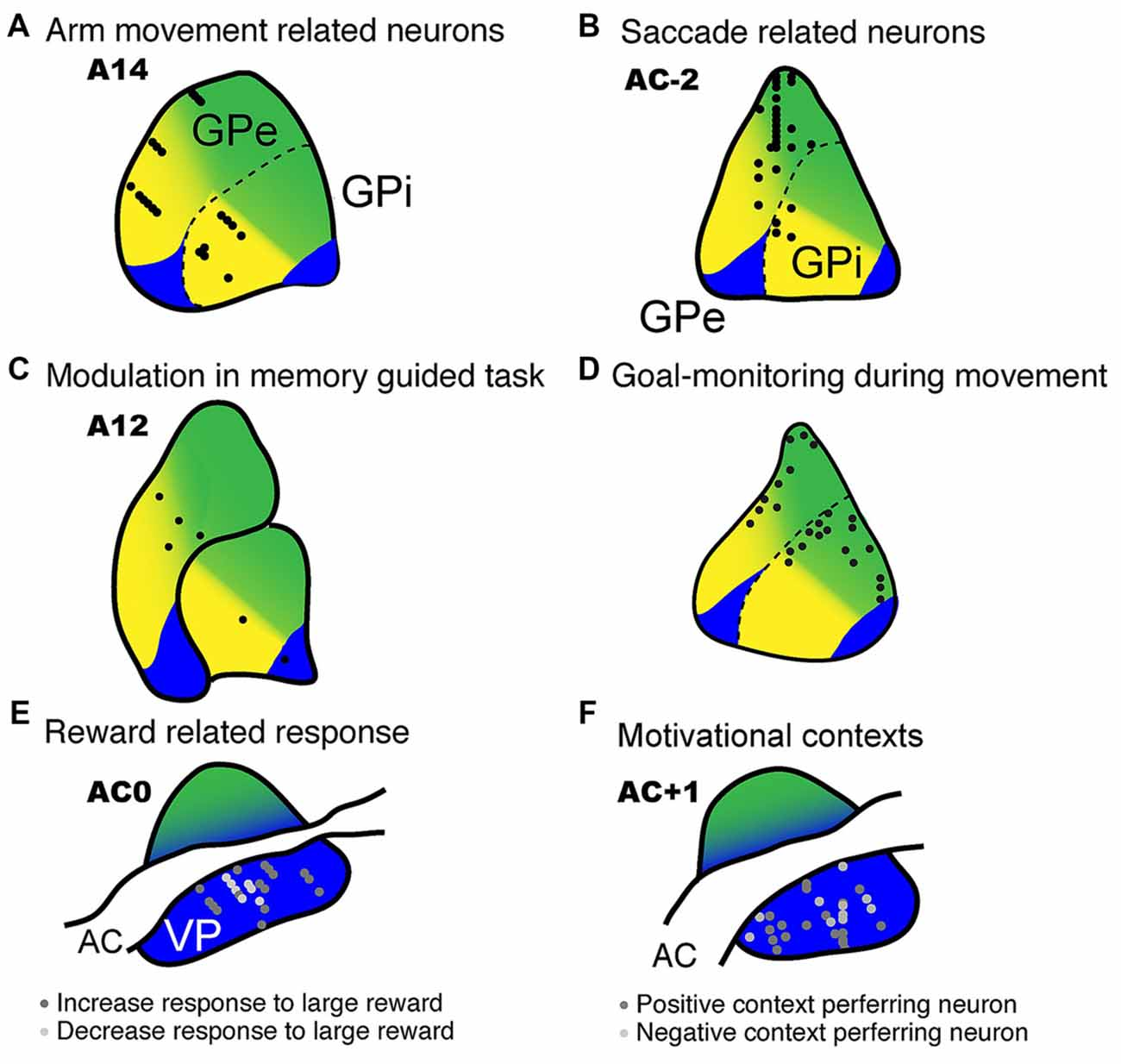 Frontiers | Roles of Multiple Globus Pallidus Territories of Monkeys ...
