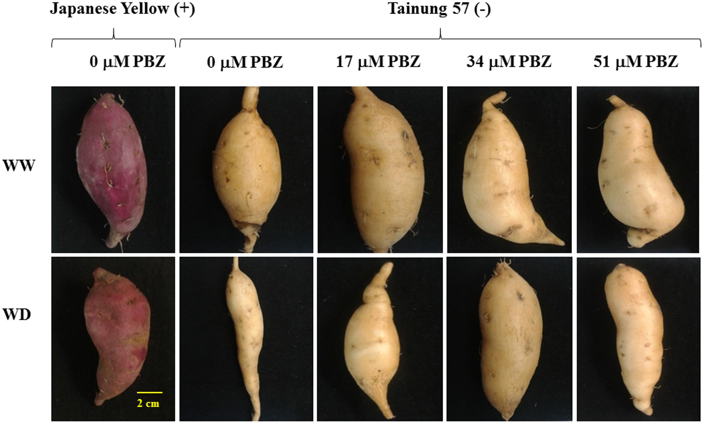frontiers water deficit tolerance in sweet potato ipomoea batatas rh frontiersin org