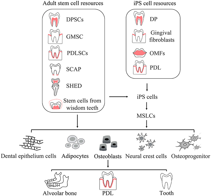Frontiers | Application of Stem Cells in Oral Disease Therapy