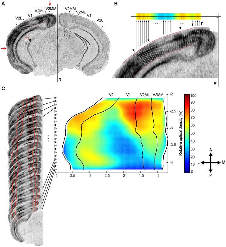 Frontiers | A Tool for Brain-Wide Quantitative Analysis of Molecular