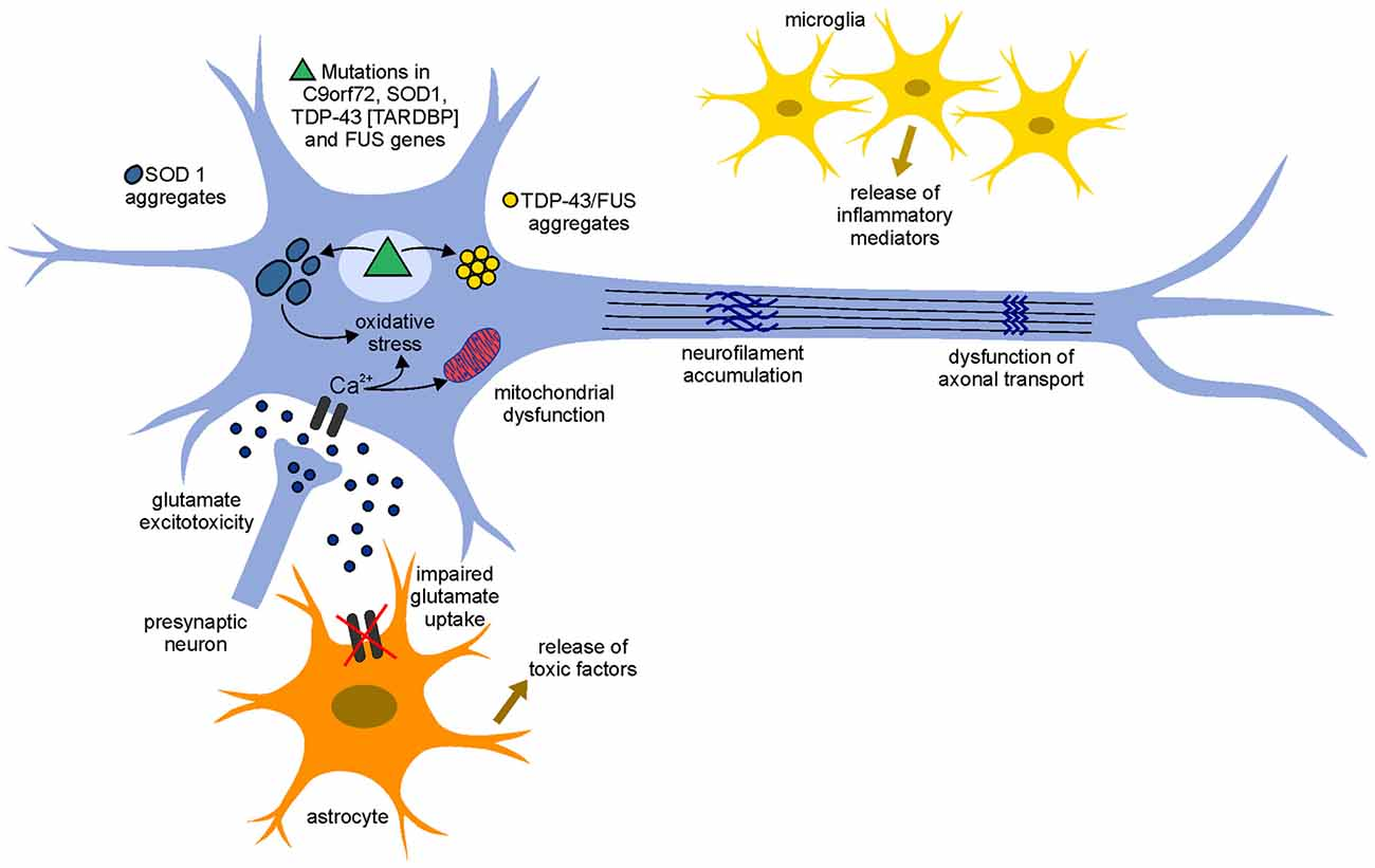 Frontiers | ALS Pathogenesis and Therapeutic Approaches: The