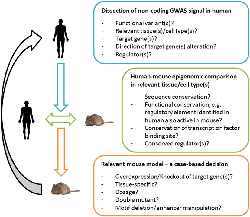 Frontiers Mouse Models Of Human Gwas Hits For Obesity And Diabetes