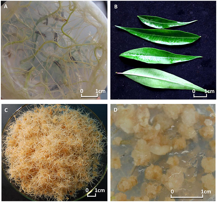 EFFECT OF Gliricidia sepium LEAVES EXTRACTS ON Aedes aegypti: LARVICIDAL ACTIVITY