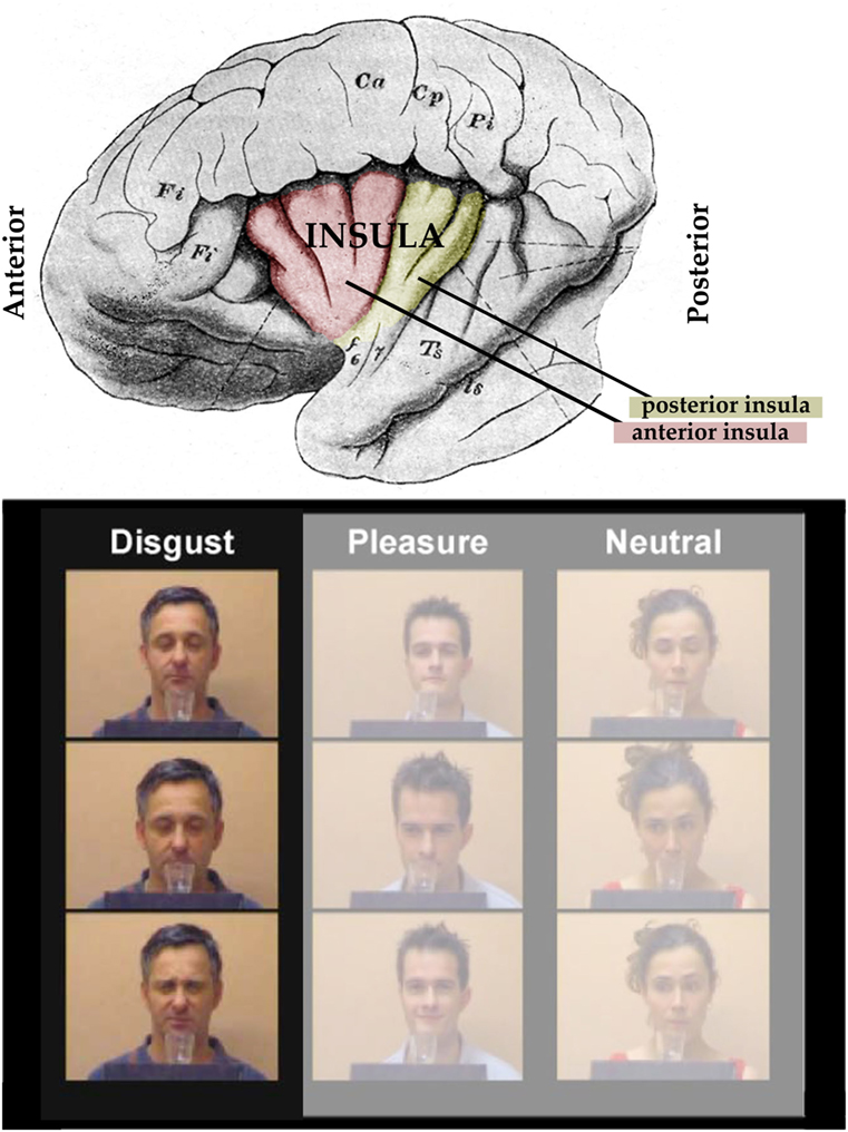 Figure 1 - Upper panel: The left side of the human brain.