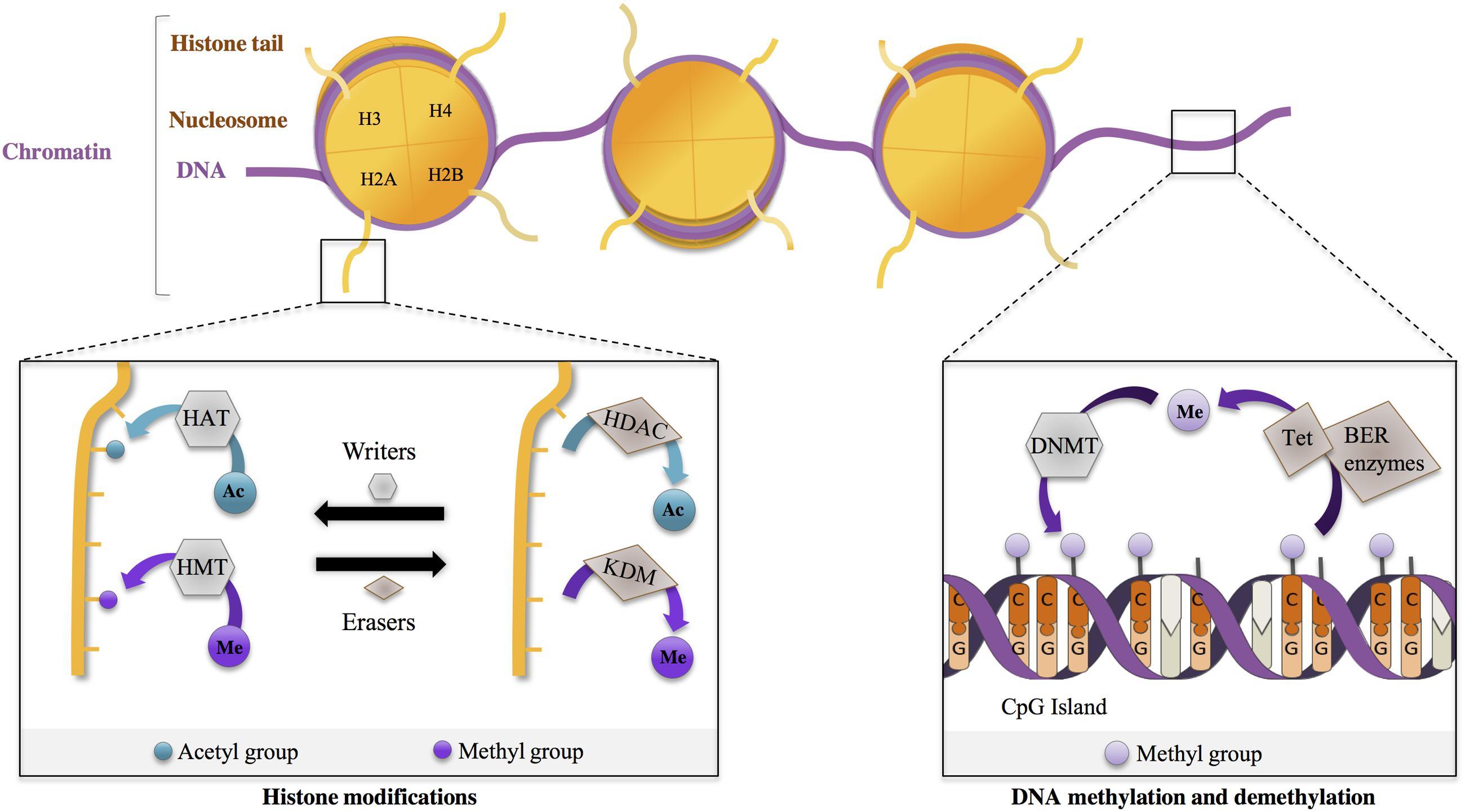 Shared Epigenetic Changes Underlie >> Frontiers Contribution Of Neuroepigenetics To Huntington S Disease