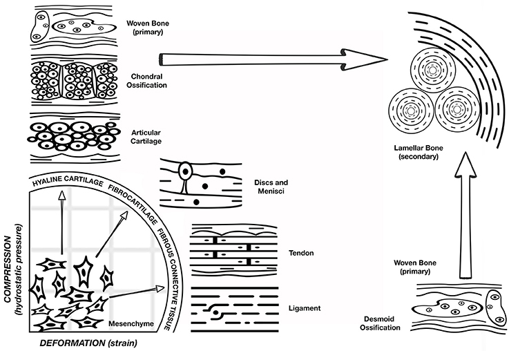 Frontiers | A Concert between Biology and Biomechanics: The