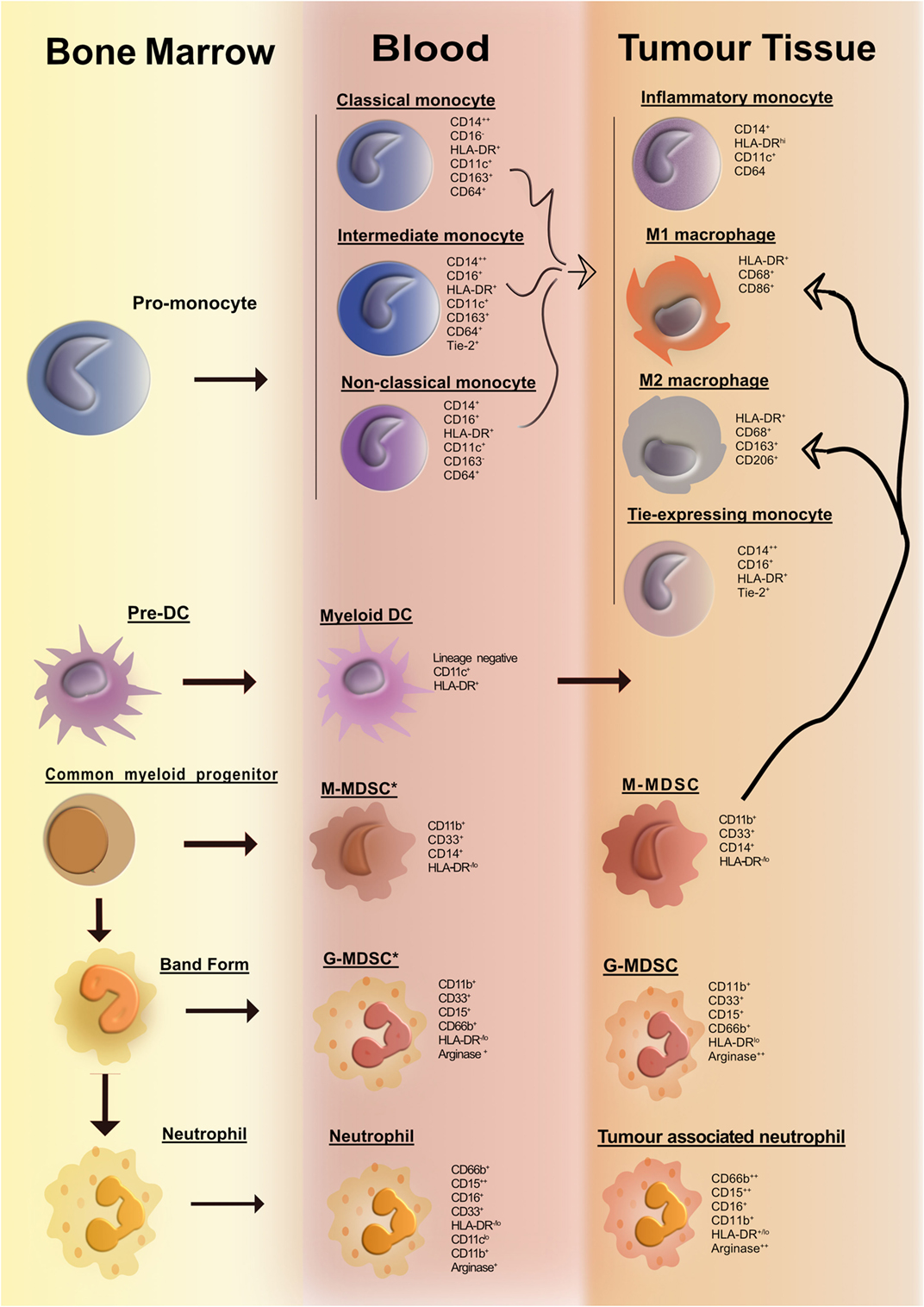 Frontiers | Human Tumor-Infiltrating Myeloid Cells