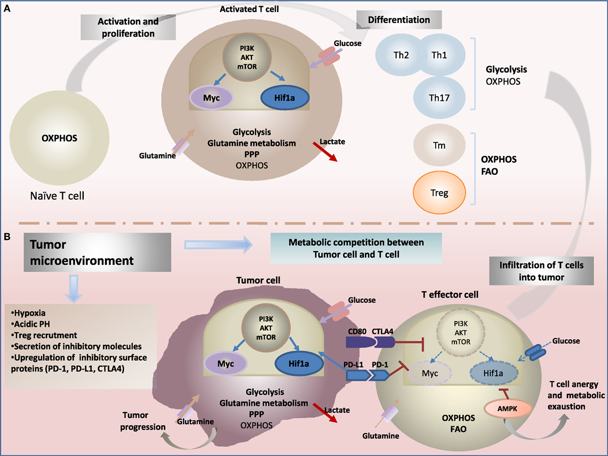 Frontiers Impact Of Metabolism On T Cell Differentiation And Nan Ph Pro 3 800g