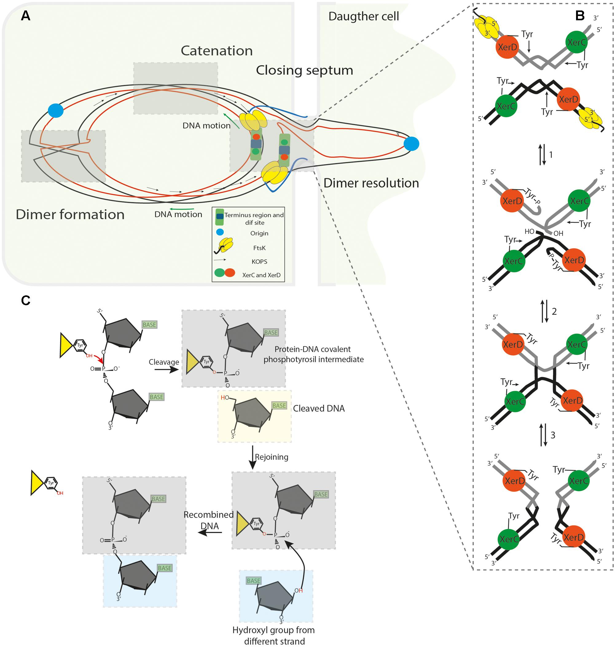Frontiers | Xer Site Specific Recombination: Double and Single