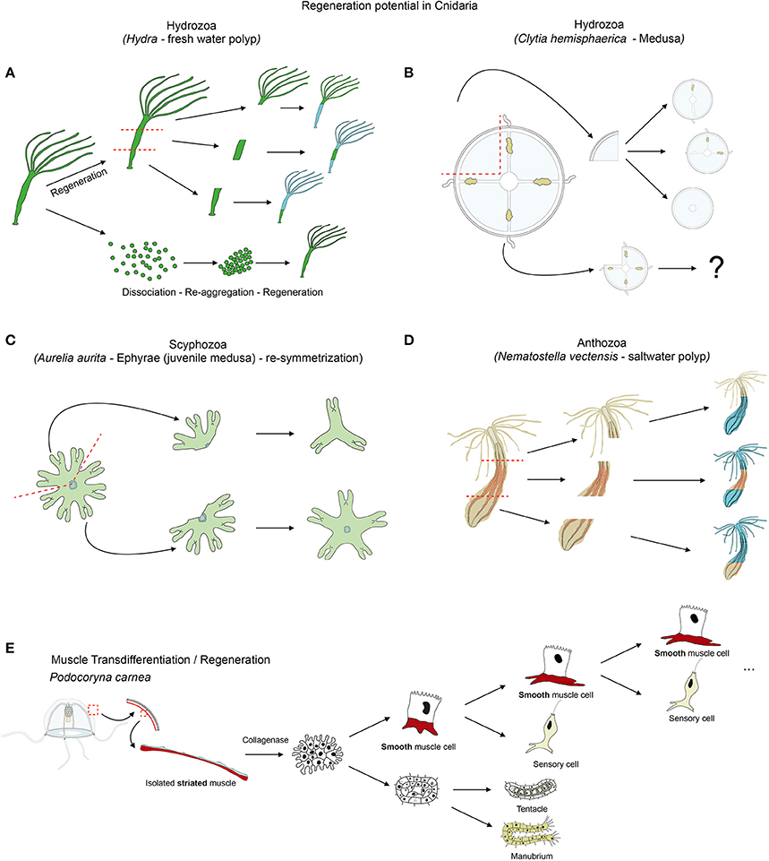 Frontiers | Diversity of cnidarian muscles: function, anatomy ...