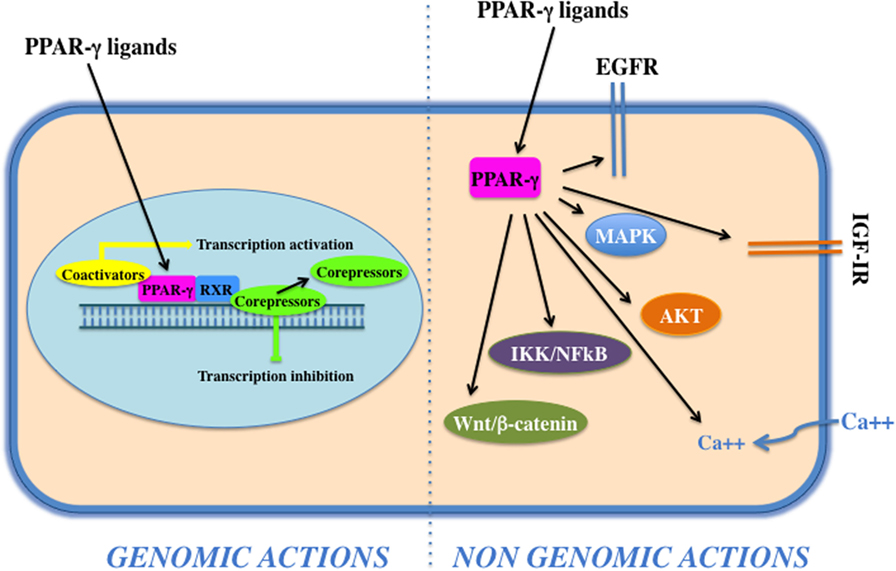 Frontiers | PPAR-γ Agonists As...