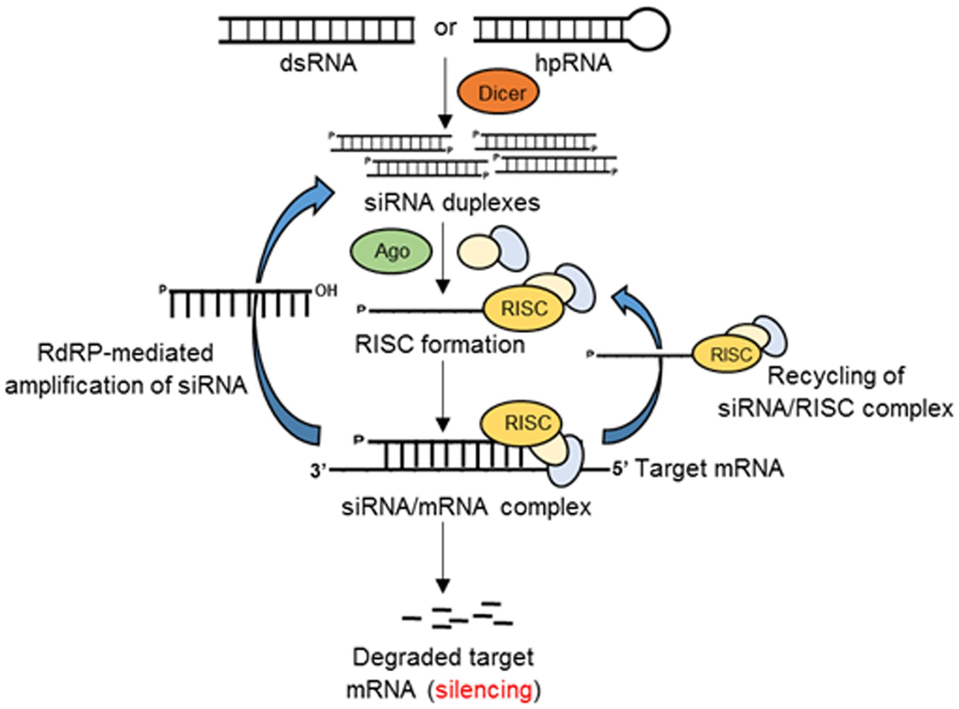 Frontiers Rna Interference Rnai As A Potential Tool