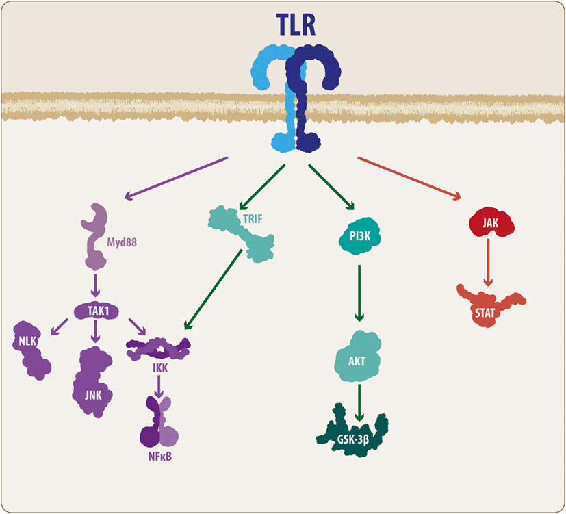 Wnt/TLR Dialog In Neuroinflammation, Relevance