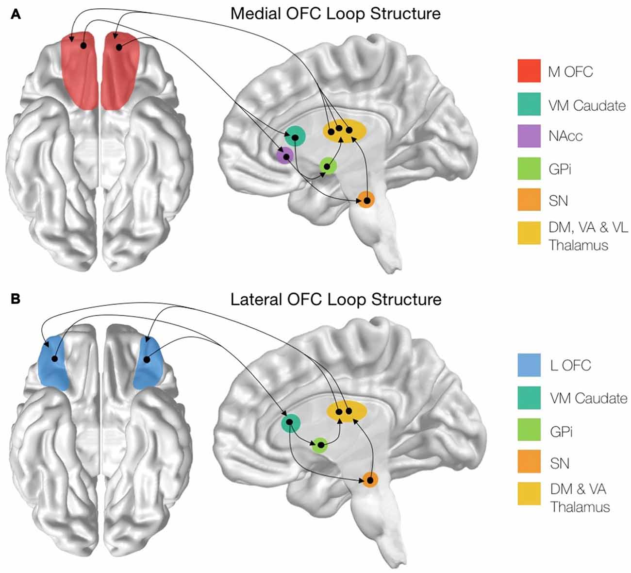 frontiers cortico striatal thalamic loop circuits of the rh frontiersin org