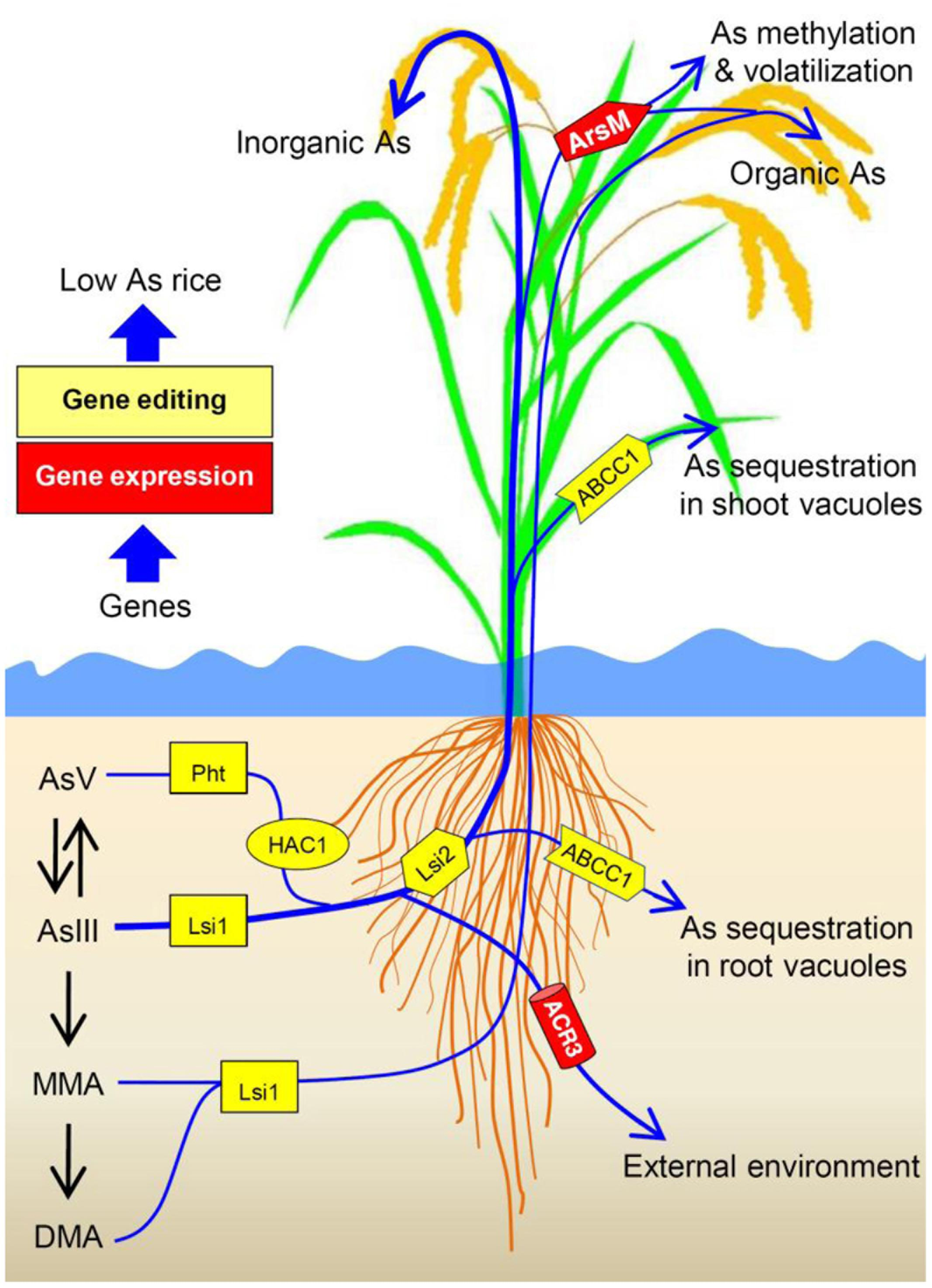frontiers arsenic transport in rice and biological solutions to rh frontiersin org Hydrophytic Parts of a Plant Rice Plant Parts