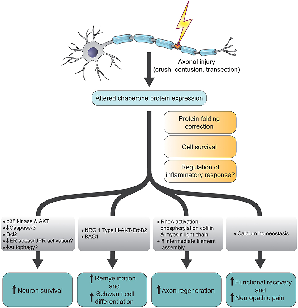 Frontiers Chaperone Proteins In The Central Nervous System And