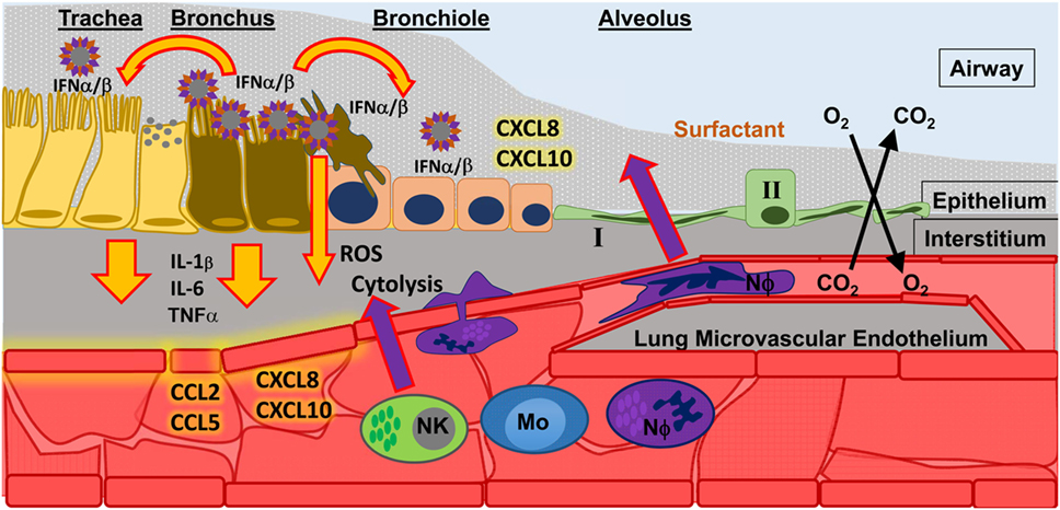 Frontiers   A Role for Neutrophils in Viral Respiratory