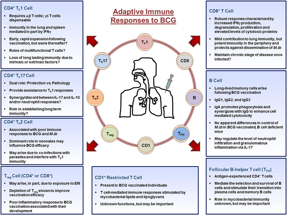 Frontiers   Immune Responses to Bacillus Calmette–Guérin Vaccination