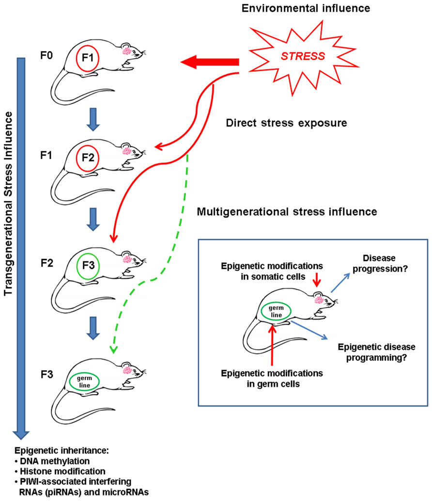 Transgenerational Epigenetic >> Frontiers The Secret Language Of Destiny Stress Imprinting And