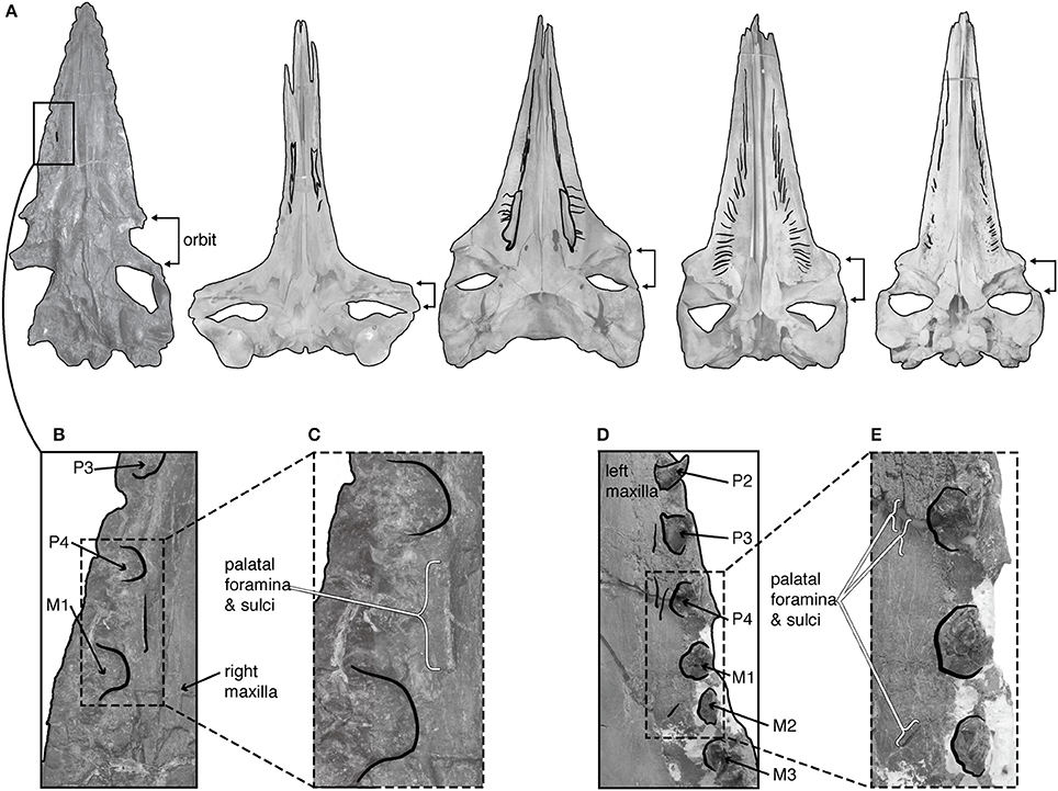 Frontiers Decoupling Tooth Loss From The Evolution Of Baleen In
