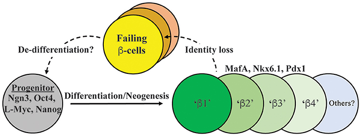 Frontiers Evidence For Loss In Identity De Differentiation And