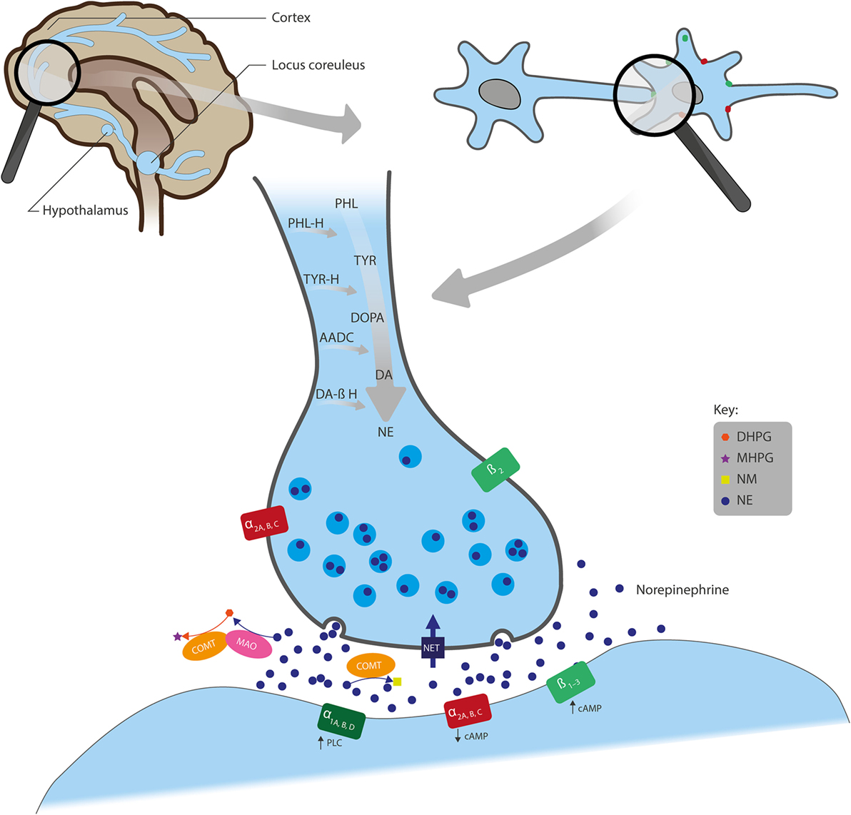 The Role Of Norepinephrine And Its α