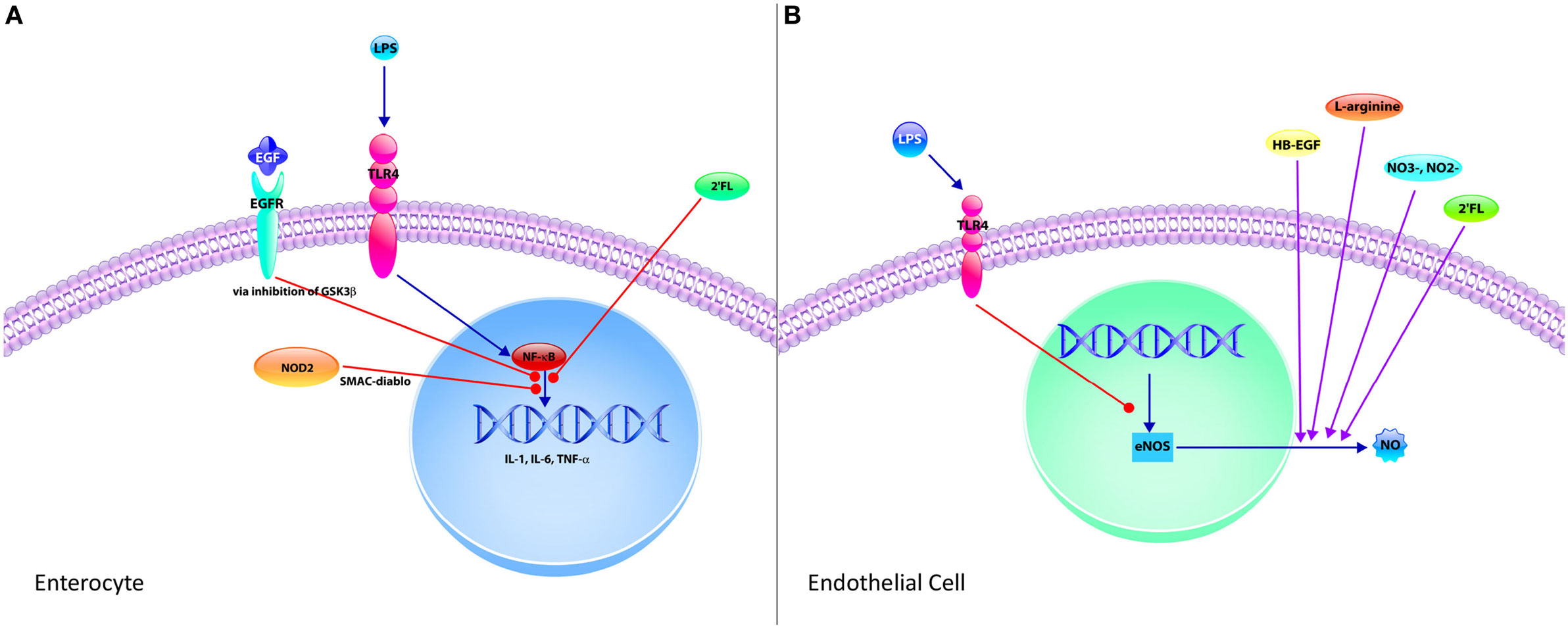 Frontiers | The Role of Mucosal Immunity in the Pathogenesis