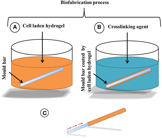 Frontiers | Rapid Fabrication of Cell-Laden Alginate