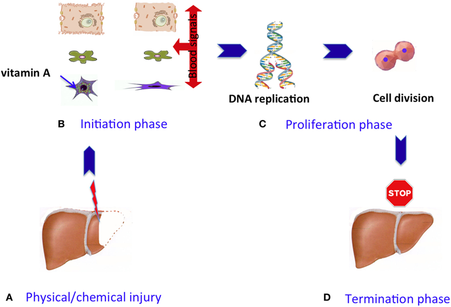 Figure 2 - Phases of the liver regeneration process.