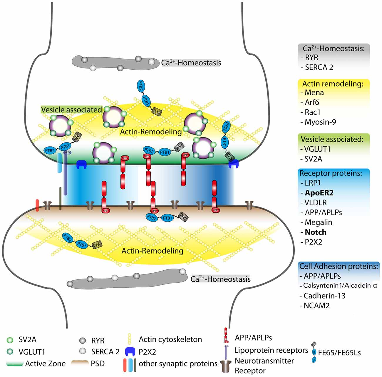 Frontiers | APP Protein Family Signaling at the Synapse