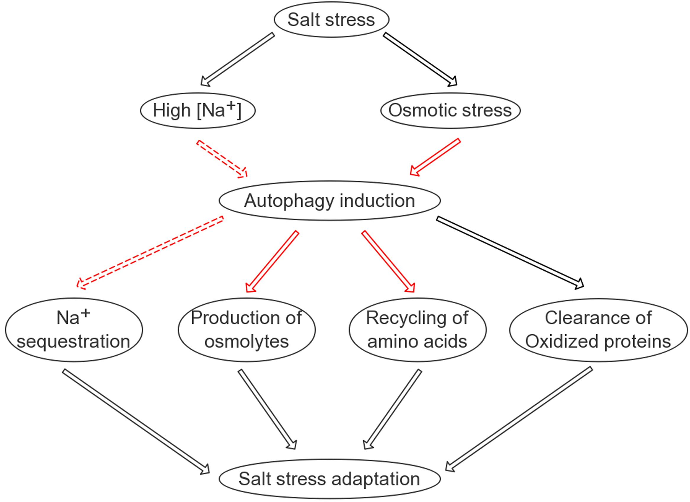 Frontiers autophagy is rapidly induced by salt stress and is frontiersin pooptronica