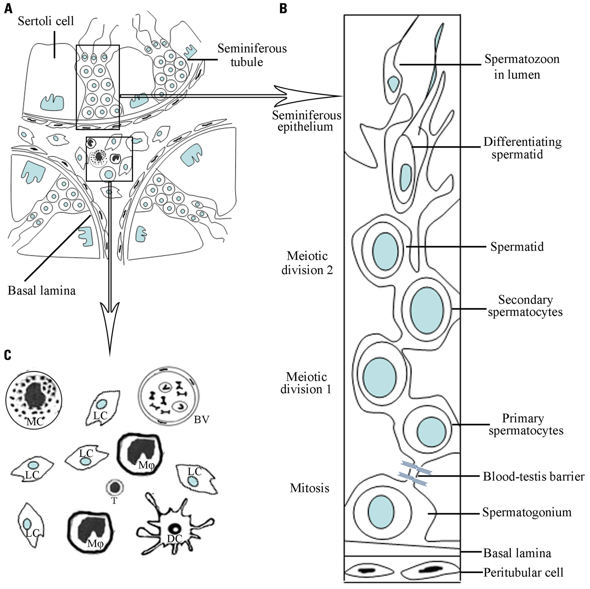 Frontiers Structural Cellular And Molecular Aspects Of Immune